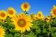 /media/liiton-sivut/tiedotus/yleiskuvia/cache/sunflower-80x53.jpg